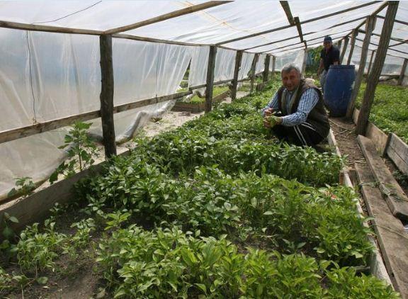 agricultor specializat in frecat menta