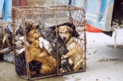 chinezii tanjesc dupa cainii comunitari