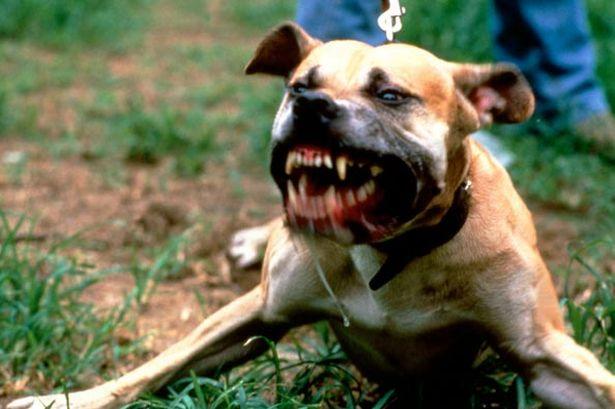 pit-bull-terrier-dog-pic-dm-997727191-92495